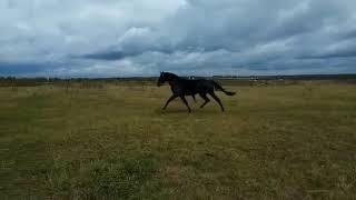 Horse for sale (Жеребец от Голштинского Бобруйска)