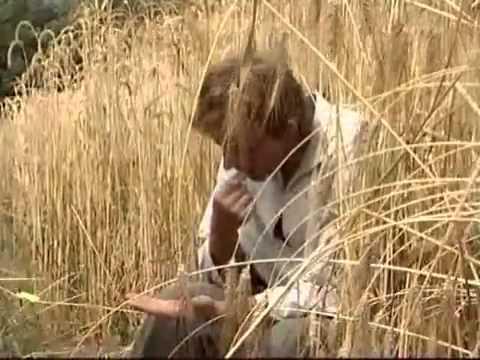 Culture de blé bio