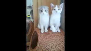 Cat's Perfection питомник шотландских кошек