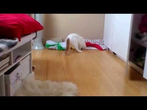 Turkish Van Cat Training