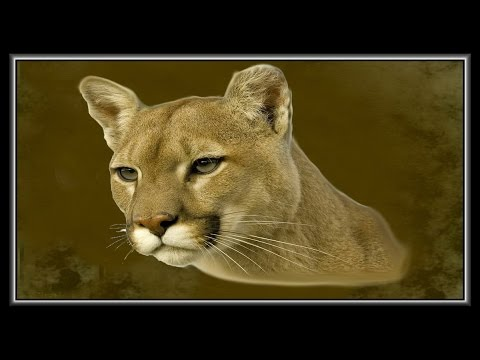 «Pumas and Cougars» фото шоу презентация и ремикс.