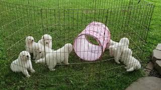Maremma Sheepdog Puppy Novelty Item Exposure #livestockguardiandog #lgd #maremmapuppy #puppyculture
