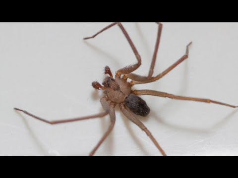 50 Recluse Spiders Found in Woman's Apartment?