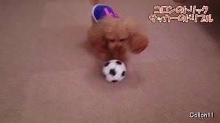 コロンのトリック集 サッカーボールをドリブルするトイプードル。 Dog t...