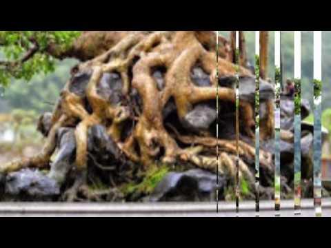 Bonsai tree in VietNam is very beautyfull/Bonsai tree in vietnam is an art