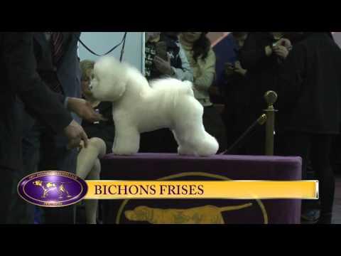 Bichon Frise Westminster Kennel Club Dog Show 2016