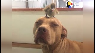 Pit Bull Dog Takes Care Of EVERYONE At Freedom Farm | The Dodo