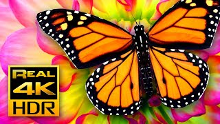 Beautiful Summer Colors in 4K HDR 🦋 Amazing Butterflies & Flowers, Relaxing TV Screensaver HDR Demo