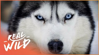The Incredible Life Of A Sled Dog (Wildlife Documentary) | Natural Kingdom | Real Wild