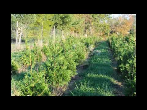 A super  Evergreen for Screening      The Green Giant Cultivar