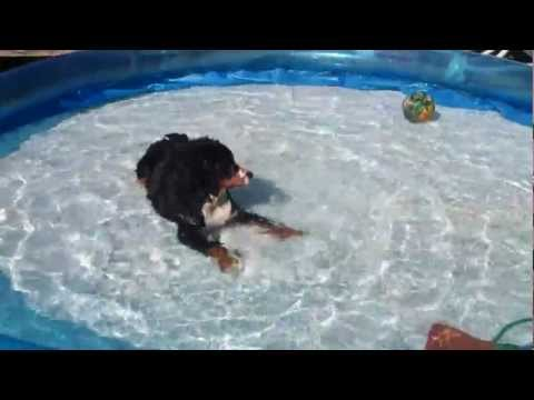 My Bernese Mountain puppy 'Juul' loves water.