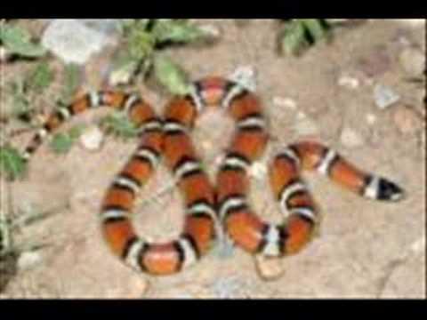 R Kelly-Snake