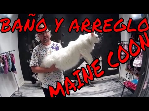 MAINE COON CAT GROOMING-BAÑO Y ARREGLO GATO MAINE COON