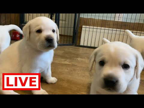 LIVE STREAM Puppy Cam! Cute Labrador Retriever puppies in their play room!