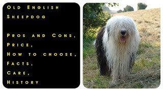 Old English Sheepdog. Pros and Cons, Price, How to choose, Facts, Care, History