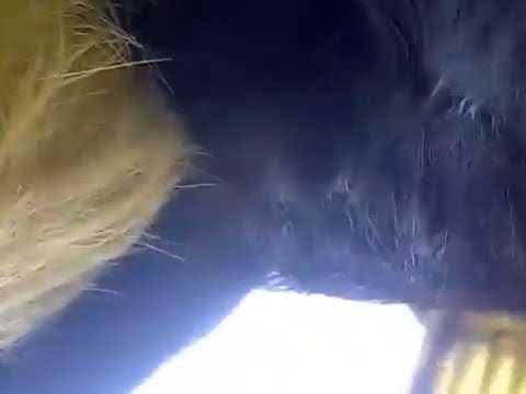 Dogs mating RIP  Anjing Kawin