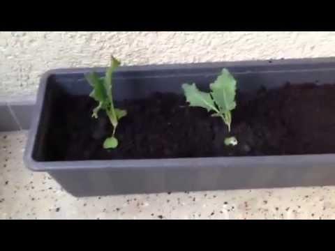Super Kohlrabi Pflanzen - YouTube #OF_97