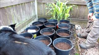 Sweet corn update. From 3 inches tall to 3 foot tall all in this one video.