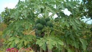 Aspo - Under The Mango Tree