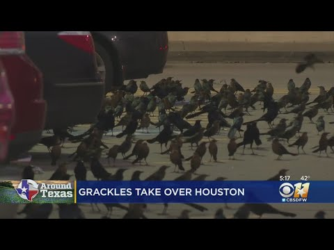 Grackles Take Over Texas Grocery Store Parking Lot
