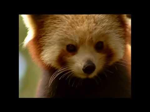 Vidéo Documentaire Nature -   Le petit Panda Indien