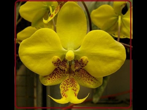 Фаленопсис Стюарта, Phalaenopsis Stuartiana💞💞💞💞 Желтая....