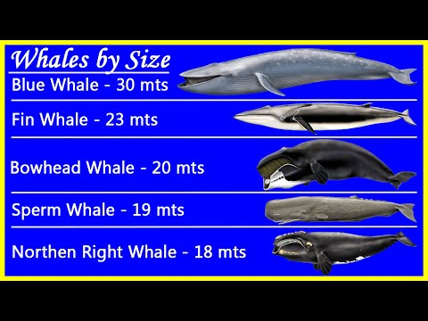 Top 5 Biggest Whales By Size And Their Real Whale Sounds Recordings. Beautiful! ♓