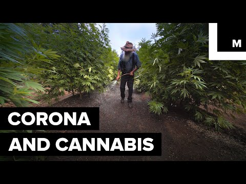 Corona's Parent Company Invests in Weed Beer