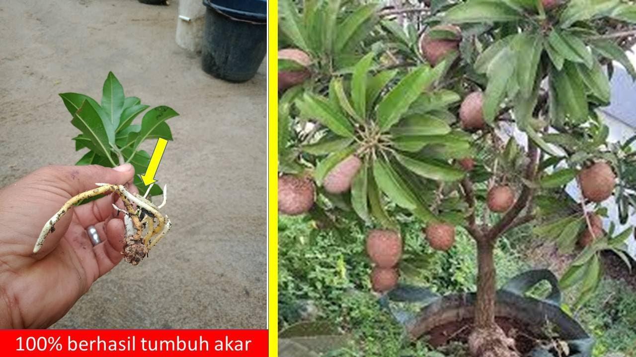 Harus tau Cara stek pohon sawo agar cepat tumbuh akar dan berbuah