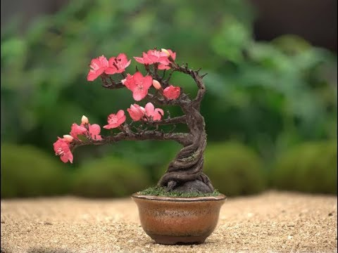 40 Best Collections Cherry Blossom Bonsai Tree Japanese Pink Wool