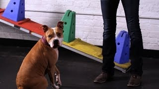 How To Teach A Pitbull Tricks | Dog Tricks