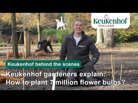 Keukenhof gardeners explain: How to plant 7 million flower bulbs? | Keukenhof?