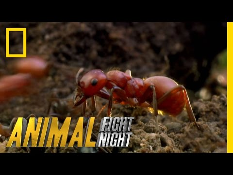 Thumbnail: Long Live the Queen | Animal Fight Night