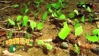 [正大综艺·动物来啦]选择题:切叶蚁切的树叶是用来干什么的?| CCTV