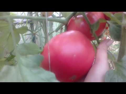 Обзор томатов Японский краб и Розовый Лев