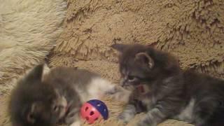 котята Мейн-кун рождены 09.11.2016
