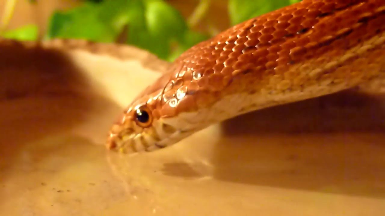 Video Of Snake Drinking Water
