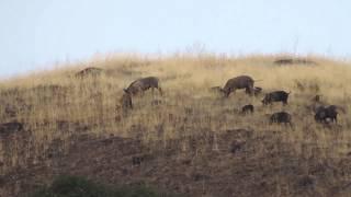 California Wild Pigs