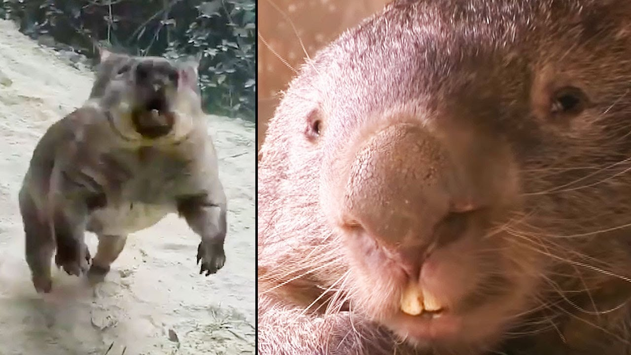 Ozzy Man Reviews: Wombats