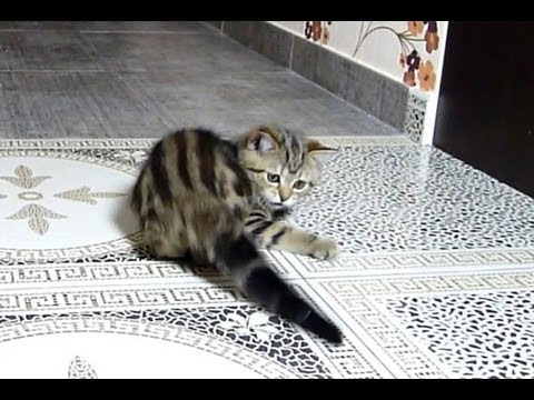 Cute and funny Kitten  catch the tail