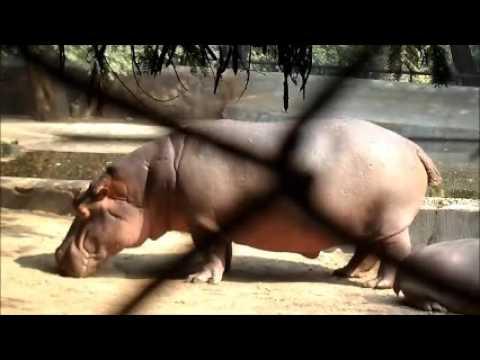 Cute hippopotamus Video, baby hippopotamus