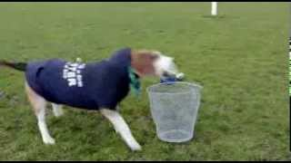 It's Murphy The Leinster Skateboarding, Rugby Playing Beagle! - Independent.ie
