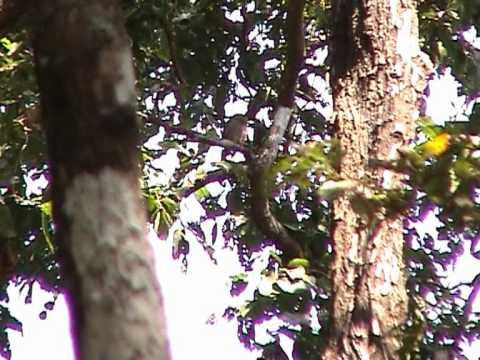 Owl in Woods at Molem, Goa, India.