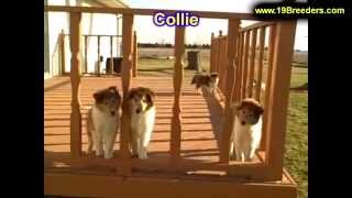 Collie, Puppies, For, Sale, In, New Orleans, Louisiana, La, Jefferson, Bayou Blue, Moss Bluff, Woodm