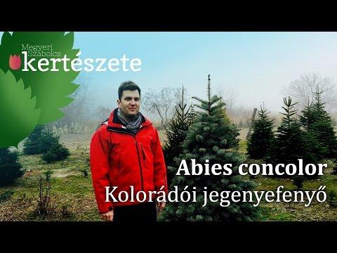 Abies concolor - Kolorádói jegenyefenyő