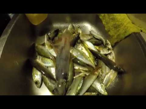 Fishing For Yellowtails And Pilchards Using Sabiki Rig (Ammo Jetty, Perth)