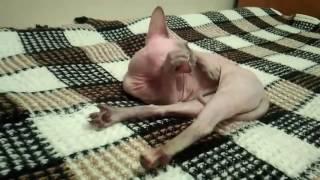 Канадский сфинкс. Кошка гуляет и хочет кота