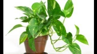 Clone/Propagate House Ivy/ pothos( lay down method )