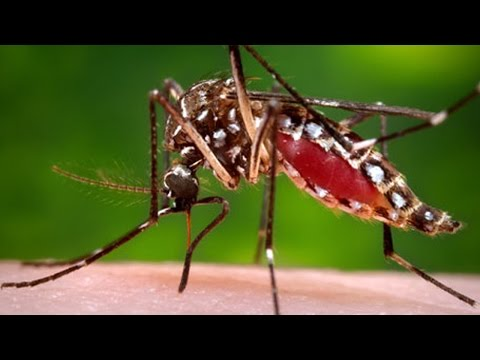 Mutant Mosquitoes Now Approved By FDA