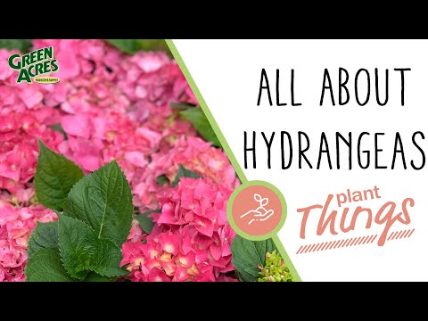All About Hydrangeas (Tips + Care)